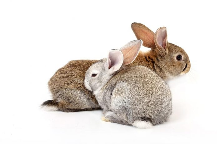 Do Rabbits Need To Live In Pairs |Petsial