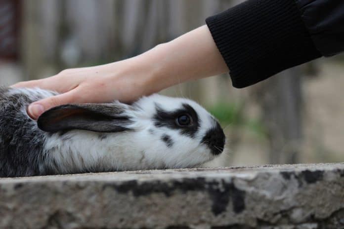 How Do You Pick up a Rabbit by the Scruff Petsial