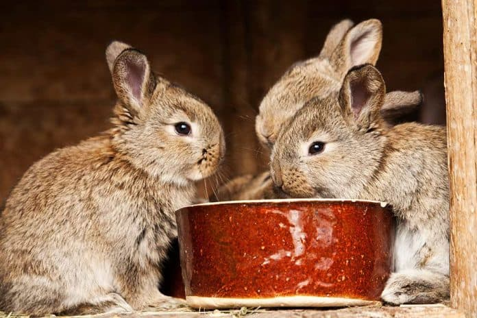 What Foods Can Kill a Rabbit