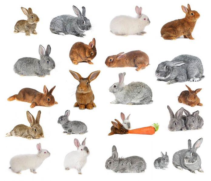 Best Pet Rabbit Breed A to Z List With Pictures