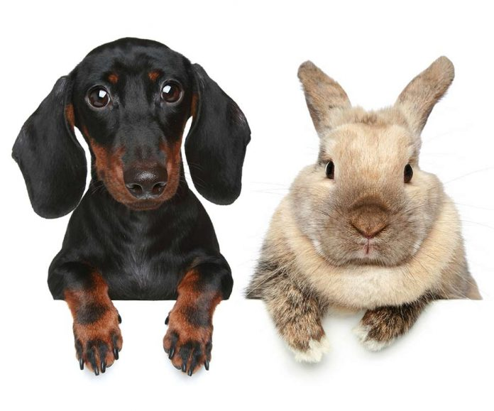 Are Rabbits Smarter Than Dogs