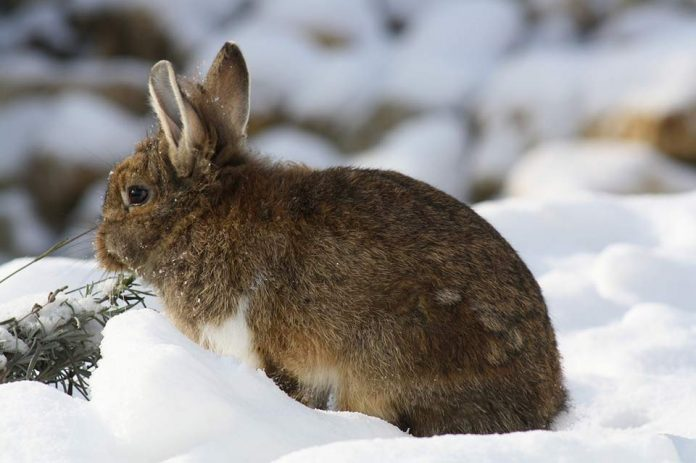 Can Rabbits Live Outside in the Winter