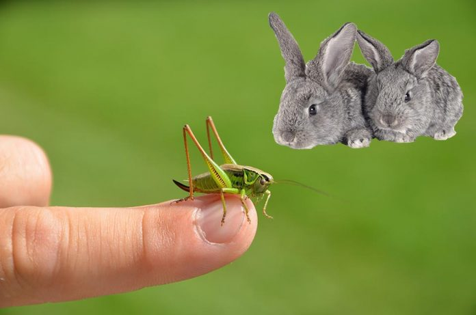 Do Rabbits Eat Grasshoppers