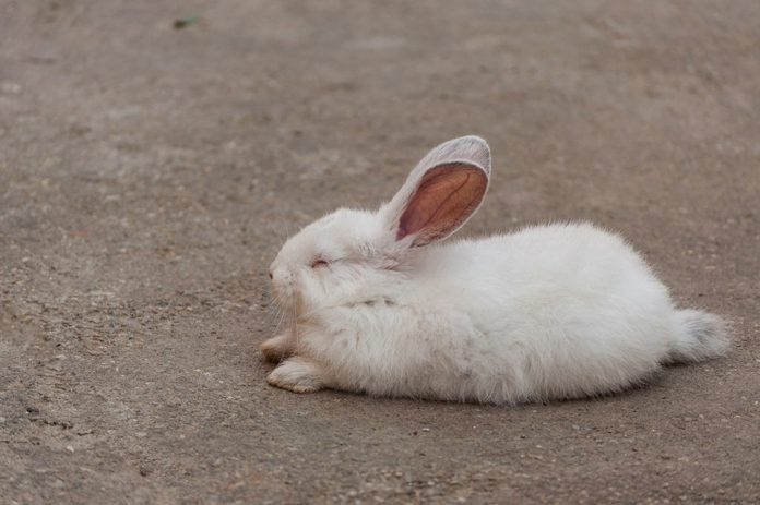 Do Rabbits Hibernate