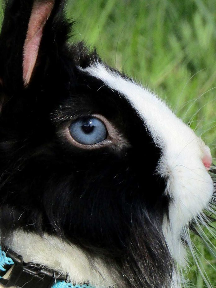 What to Do if Your Rabbit Has an Eye Infection
