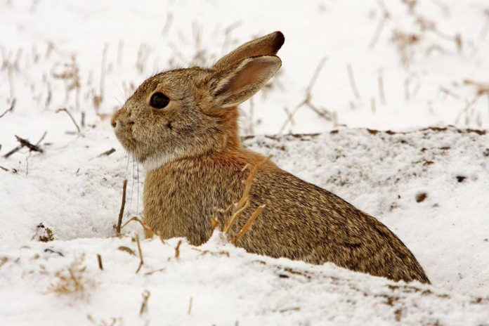 What Do Wild Rabbits Eat In The Winter