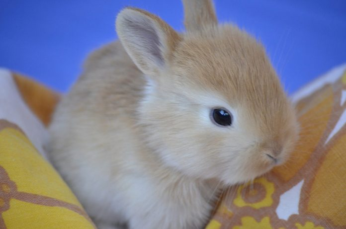 When Do Baby Rabbits Get Fur