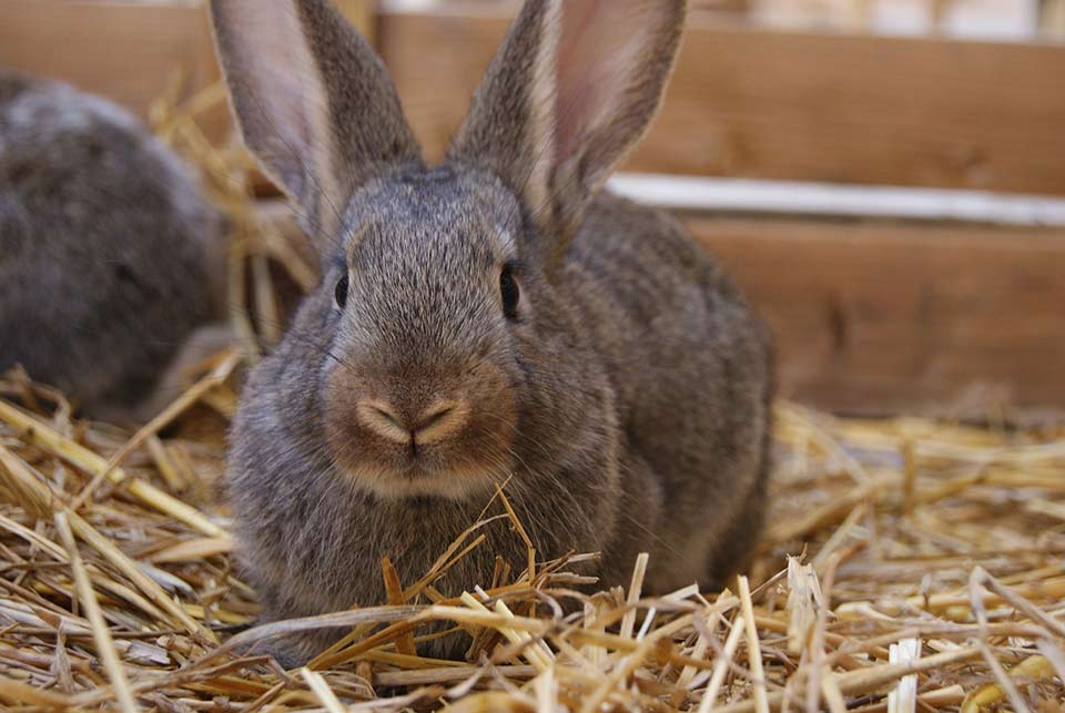 Why Is My Rabbit Eating Her Babies | Petsial
