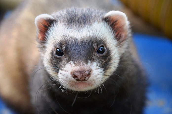 Are Ferrets Good As Pets