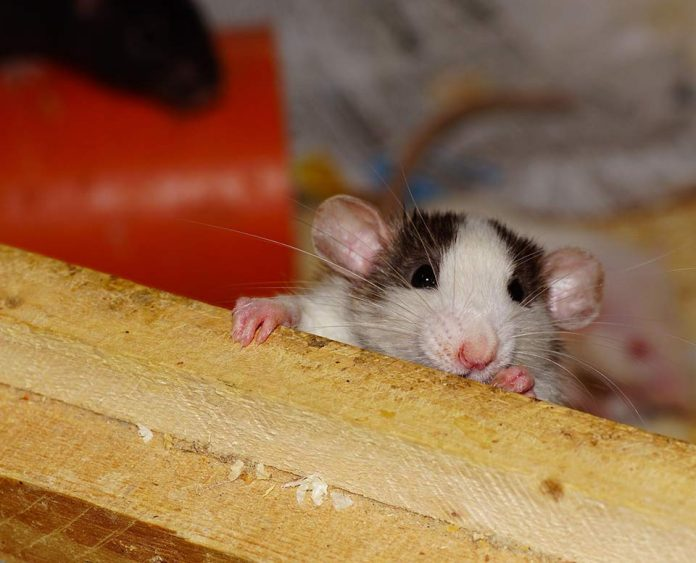 Rats as Pets Pros and Cons Cost Lifespan Care Facts Safety