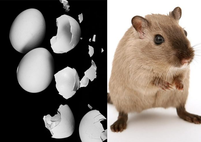 Are Eggshells Good for Pet Rats