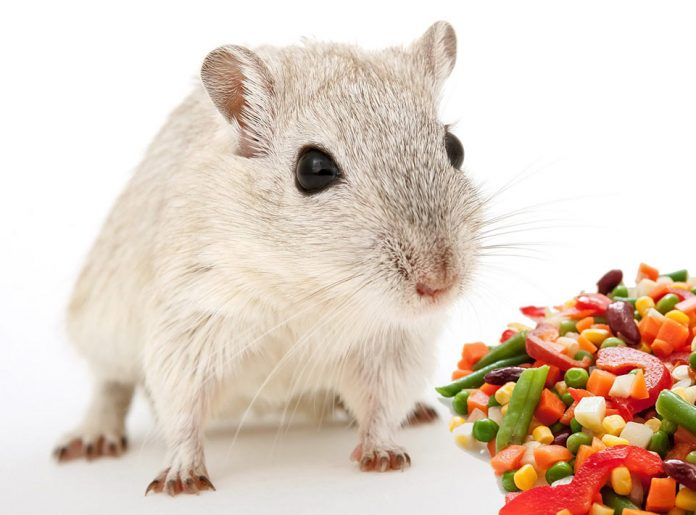 Can Pet Rats Be Vegetarian