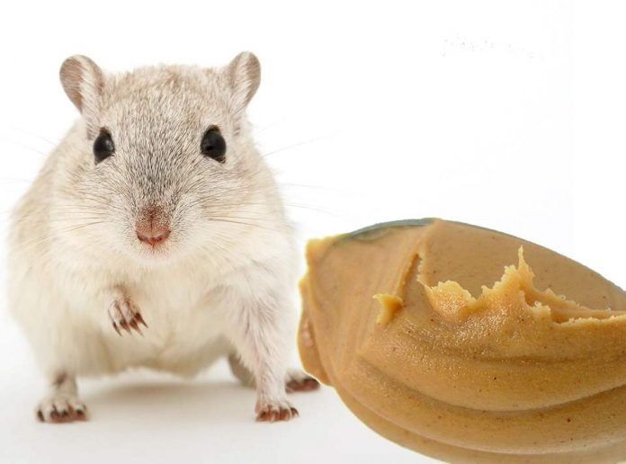 Can Pet Rats Eat Peanut Butter