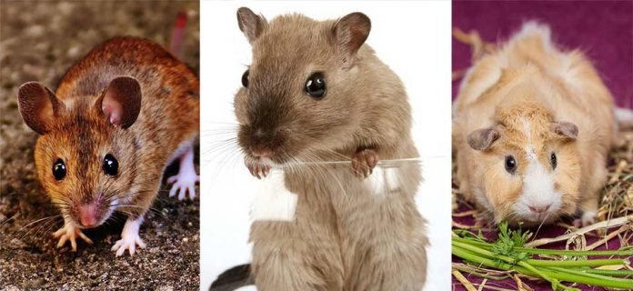 Can Pet Rats Live With Mice or Guinea Pigs