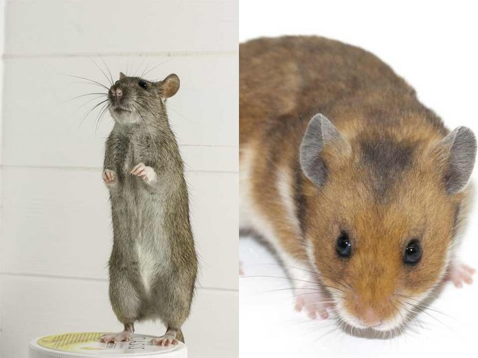 Can Rats and Hamsters Mate