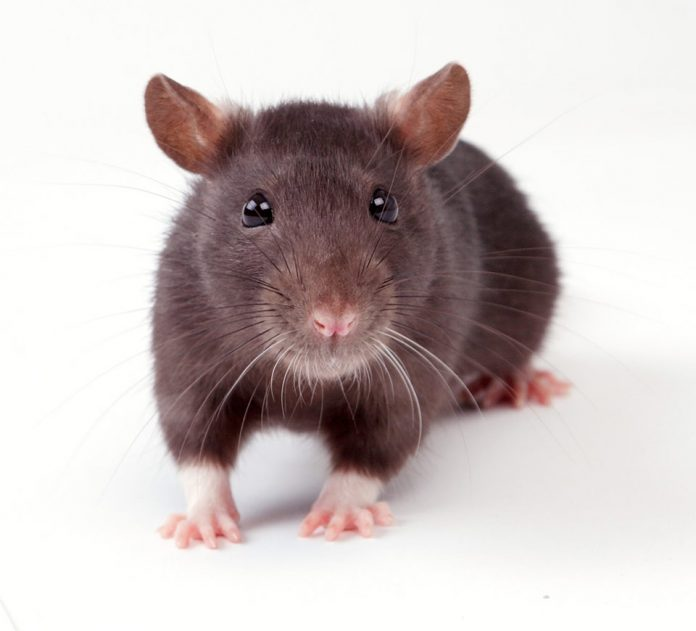 Do Female Rats Have a Period