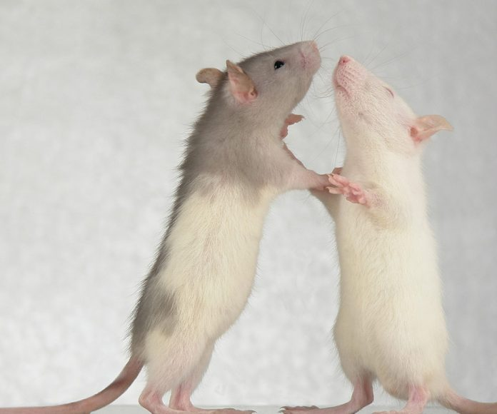 Do Male Pet Rats Fight