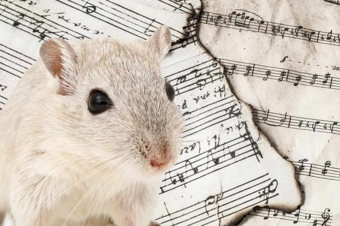 Do Pet Rats Really Like Music