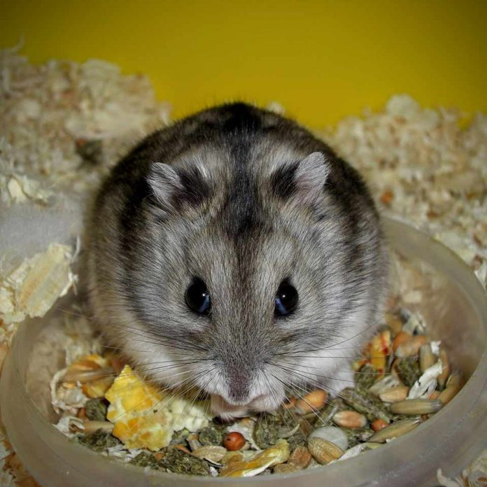 Why Do Pet Rats Hide or Hoard Food