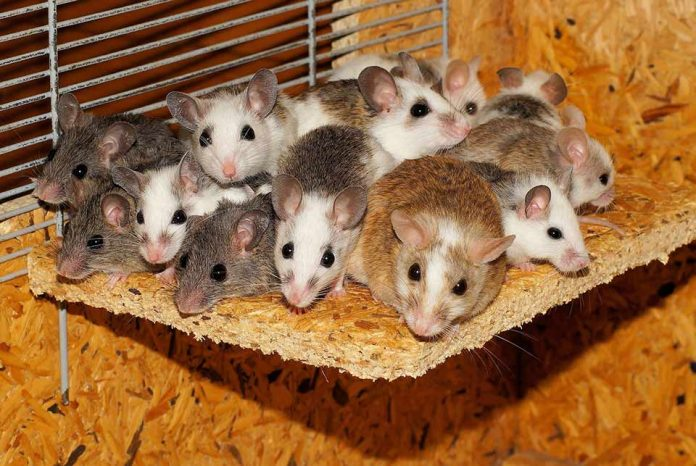 Will Pet Rats Attract Other Rodents