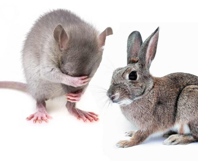 Can Pet Rats and Rabbits Live Safely Together