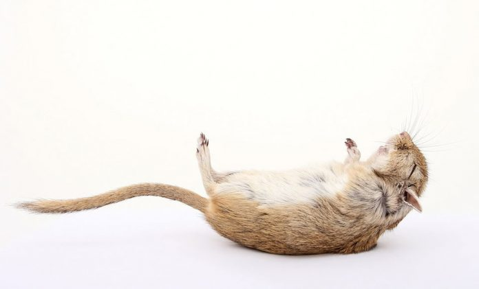 Do Rats Play Dead What is Tonic Immobility