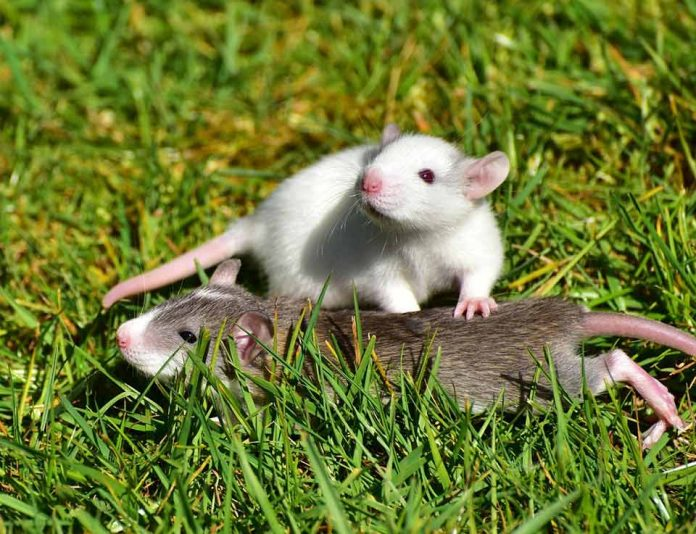 Are Pet Rats Loud What Sounds Do They Make